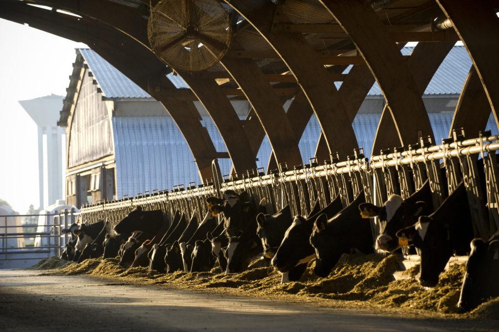 Le troupeau de vaches labellisé Bleu Blanc Coeur de la ferme de Viltain